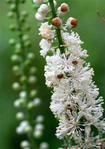 Black_Cohosh_opt.jpg