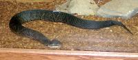 <h2>Cottonmouth