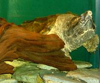 <h2>Snapping Turtle 1</h2><p>Snapping Turtle swimming.<br></p>