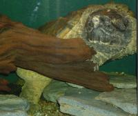 <h2>Snapping Turtle 2</h2><p>Snapping Turtle swimming.<br></p>