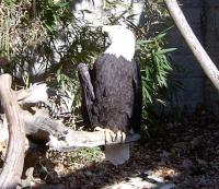 <h2>Bald Eagle 2</h2><p>Bald Eagle perched (Right).Passed away on June 29, 2009<br></p>