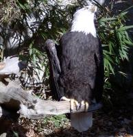 <h2>Bald Eagle 3