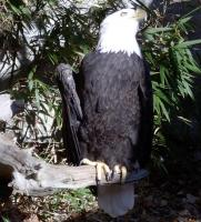 <h2>Bald Eagle 5