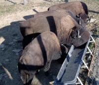 <h2>Bison 1 </h2><p>Bison eating from trough.<br></p>
