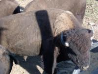 <h2>Bison 2 </h2><p>Bison eating from trough.<br></p>
