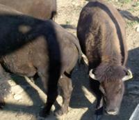<h2>Bison 4</h2><p>Bison eating from trough.<br></p>