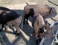 <h2>Bison 6 </h2><p>Bison eating from trough.<br></p>