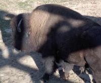 <h2>Bison 8
