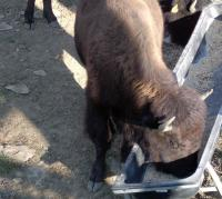 <h2>Bison 9 </h2><p>Bison eating from trough.<br></p>