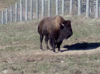 <h2>Bison 11