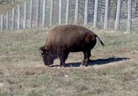 <h2>Bison 14. </h2><p>Bison grazing.<br></p>
