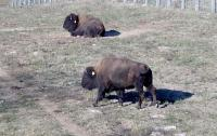 <h2>Bison 20</h2><p>One Bison resting, the other Bison standing.<br></p>