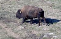 <h2>Bison 21
