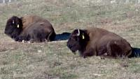 <h2>Bison 23 </h2><p>Two Bison resting.<br></p>