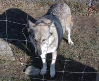 <h2>Coyote Hybrid 4
