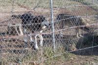 <h2>Coyote Hybrids 2