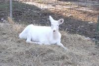 <h2>White Fawn 1
