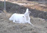 <h2>White Fawn 2