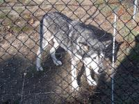 <h2>Wolf Hybrid 1