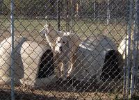 <h2>White Wolf Hybrid and Great Pyrenees