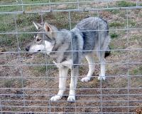 <h2>Wolf Hybrid 4