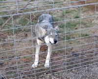<h2>Wolf Hybrid 5