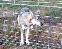 <h2>Wolf Hybrid 6