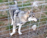 <h2>Wolf Hybrid 9