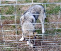 <h2>Wolf Hybrid 10