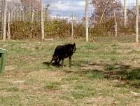 <h2>Black Wolf 10