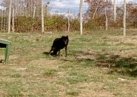 <h2>Black Wolf 11