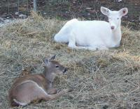 <h2>Fawn And White Fawn 1 </h2><p>Fawn abd White Fawn at Wolf Run Nature Sanctuary.<br></p>