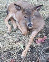 <h2>Fawn 1 </h2><p>Fawn at Wolf Run Nature Sanctuary.<br></p>