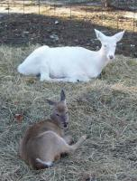 <h2>Fawn And White Fawn 2 </h2><p>Fawn abd White Fawn at Wolf Run Nature Sanctuary.<br></p>