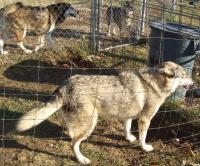 <h2>Coyote Hybrids 1 </h2><p>Coyote Hybrid at Wolf Run Nature Sanctuary.<br></p>
