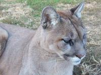<h2>Puma 1 </h2><p>Puma at Wolf Run Nature Sanctuary.<br></p>