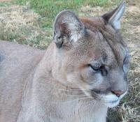 <h2>Puma 2 </h2><p>Puma at Wolf Run Nature Sanctuary.<br></p>