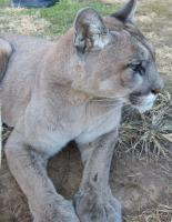 <h2>Puma 3 </h2><p>Puma at Wolf Run Nature Sanctuary.<br></p>