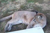 <h2>Puma 4 </h2><p>Puma at Wolf Run Nature Sanctuary.<br></p>