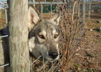 <h2>Hybrid Wolf 2 </h2><p>Hybrid Wolf at Wolf Run Nature Sanctuary.<br></p>