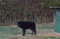 <h2>Black Wolf 1 </h2><p>Black Wolf at Wolf Run Nature Sanctuary.<br></p>