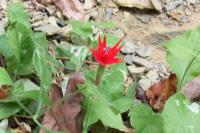<h2>Red Flower at Yahoo Falls 2