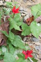 <h2>Red Flowers at Yahoo Falls 2