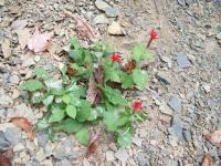 <h2>Red Flowers at Yahoo Falls 3