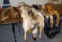 <h2>Animal Pelts </h2><p>Photography by WahiyaMay 30, 2009<br></p>