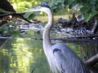 <h2>Great Blue Heron </h2><p>July 13, 2009Photography by  Wahiya.<br></p>