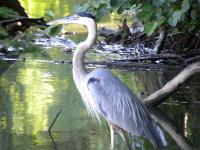<h2>Great Blue Heron </h2><p>July 13, 2009Photography by  Wahiya<br></p>