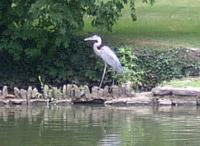 <h2>Great Blue Heron