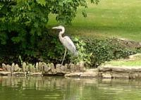 <h2>Great Blue Heron </h2><p>August 6, 2008Photography by Wahiya<br></p>